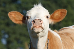 Surprised young cow Royalty Free Stock Photo