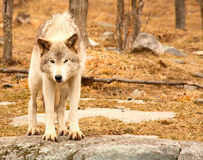 Surprised Young Wolf Stock Photo