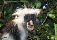A Surprised Zanzibar Red Colobus Royalty Free Stock Photography