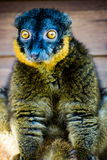 Surprising the Collared Lemur! Stock Image