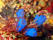 Sea squirt Stock Photo