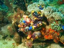 Sea squirt. The surprising underwater world of Philippine sea, island Mindoro, sea squirt stock photo