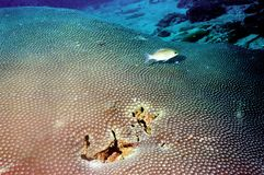 The surprising world of corals of Andaman sea 35 Stock Image
