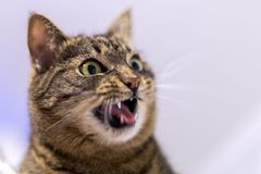 Surprized cat head with open mouth. Surprized cat with open mouth. Selective focus closeup portrait with shallow depth of field royalty free stock photos