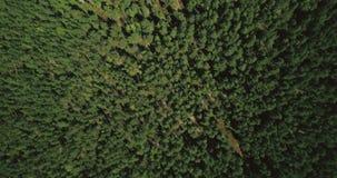 Surr som långsamt flyger ovanför slät skogtextur Flyg- rakt skott för lodlinje 4K av den tysta vildmarken och den borttappade väg arkivfilmer