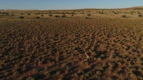 Surra längd i fot räknat som följer den lösa leken i den kalahari öknen stock video