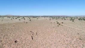 Surra längd i fot räknat som följer den lösa leken i den kalahari öknen arkivfilmer