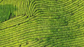 Surra skottet av den bästa sikten på koloni för grönt te lager videofilmer