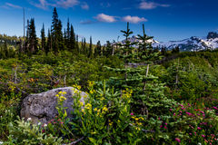 Surreal Alpine Meadow at Paradise on Mount Rainier in August. Royalty Free Stock Image