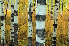 Surreal aspen trees Stock Photos