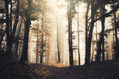 Surreal autumn misty forest with fog Royalty Free Stock Image