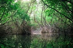 Tropical river and mangrove rain forest lit by sun. Sri Lanka royalty free stock images