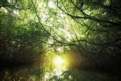 Surreal magic of wild mangrove forest stock photography