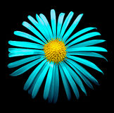 Surreal bright chrome cyan chrysanthemum flower macro isolated Stock Images