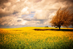 Surreal Canola Field. Surreal landscape of Canola rapeseed field with apple blossom tree Stock Photo