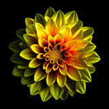 Surreal dark chrome yellow and red flower dahlia macro isolated Stock Photography