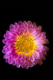 Surreal dark pink flower dahlia macro isolated on black Stock Photo