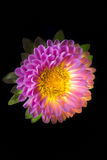 Surreal dark pink flower dahlia macro isolated on black Stock Photography