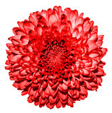 Surreal dark red chrysanthemum (golden-daisy) flower macro Royalty Free Stock Photography