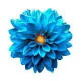 Surreal donkere geïsoleerde macro van de chroom duidelijke blauwe dahlia Royalty-vrije Stock Fotografie