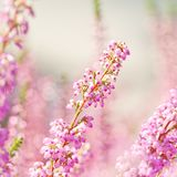 Surreal landscape flowering Erica tetralix small pink lilac plants, shallow depth of field, selective focus photography.  Royalty Free Stock Image