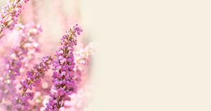 Surreal landscape flowering Erica tetralix small pink lilac plants, shallow depth of field, selective focus photography royalty free stock photography