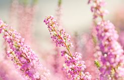 Surreal landscape flowering Erica tetralix small pink lilac plants, shallow depth of field, selective focus photography.  Royalty Free Stock Images