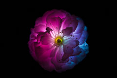 Surreal pink and blue flowers of sakura macro isolated on black Royalty Free Stock Images