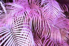 Surreal pink palm tree leaves. Fantasy, nature and background concept - surreal pink palm tree leaves, infrared effect Stock Photo