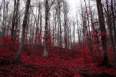 A surreal red forest in Serbia. Surreal red leaves and silver beach trees Royalty Free Stock Photos