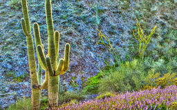 Surreal Saguaros Royalty Free Stock Images