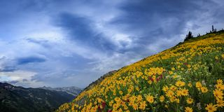 Colorful summer wildflowers in the Wasatch Mountains, utah, USA. Stock Images