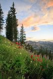 Colorful golden wildflowers in the Wasatch Mountains, utah, USA. Stock Photos