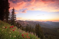 Colorful red wildflowers in the Wasatch Mountains, utah, USA. Stock Photo
