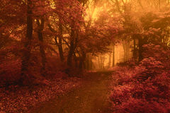 Surreal trail in foggy forest. Trees with red leaves Royalty Free Stock Photos