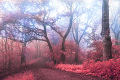 Surreal trail in foggy forest. Trees with red leaves Royalty Free Stock Image