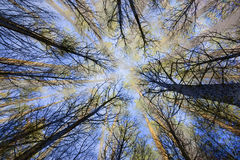 Surreal trees in forest view from below. Surreal trees in a forest view from below Stock Photo