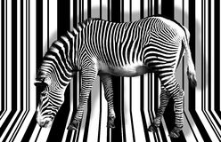 Surreal zebra. Surreal high key zebra in black and white Royalty Free Stock Photography