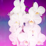 Surrealism White Orchid on a pink background vintage. A beautiful flowering plant Royalty Free Stock Photo