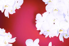 Surrealism White Orchid on red background. Top view Copy space for your text Stock Image