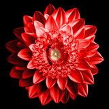 Surrealistic fantasy red flower macro isolated Stock Photos