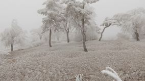 Surrealistic mountain glade. Windy weather, trees covered with hoarfrost. Snowstorm and fog, winter bad weather stock footage