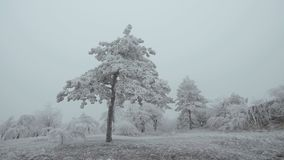Surrealistic mountain glade. Windy weather, trees covered with hoarfrost. Snowstorm and fog, winter bad weather stock video