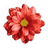 Surrealistycznego ciemnego chrom czerwieni gerbera kwiatu makro- odosobniony zdjęcie stock