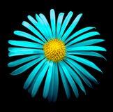 Surrealistycznego jaskrawego chrom chryzantemy cyan kwiatu makro- odosobniony obrazy stock