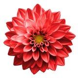 Surrealistycznej ciemnej chrom czerwieni kwiatu dalii makro- odosobniony zdjęcia royalty free