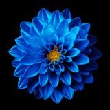 Surrealistycznej ciemnej chromu kwiatu błękitnej dalii makro- odosobniony zdjęcie stock