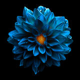 Surrealistycznej ciemnej chromu kwiatu błękitnej dalii makro- odosobniony zdjęcia stock