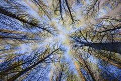 Surrealistyczni drzewa w lasowym widoku spod spodu Zdjęcie Stock