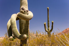 Surrelaistic Saguaro Cactus Stock Photo